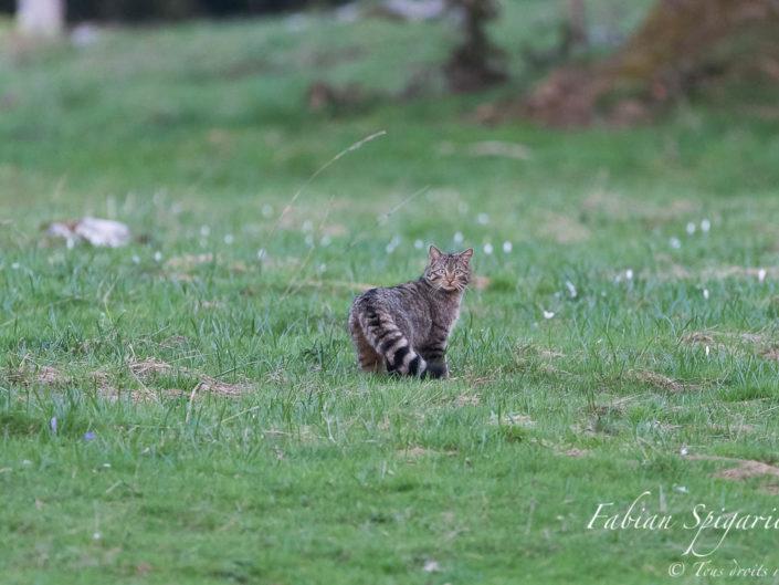 Surpris au crépuscule dans un champ des crêtes du Val-de-Travers parsemé de crocus, le chat forestier adresse un regard intense et profond au photographe ébahi par cette rencontre inespérée.