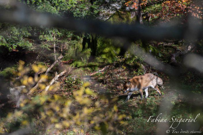 Le chasseur de l'ombre - Sans un bruit, le renard s'avance à pas de loup en lisière d'une forêt située sur les hauteurs du Val-de-Travers.