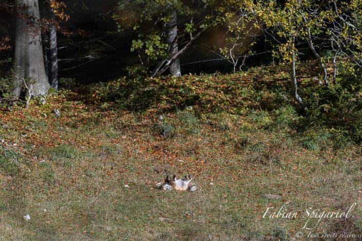 Toilettage vulpin - Moment d'intimité partagé avec un renard roux faisant sa toilette dans une clairière du Val-de-Travers.