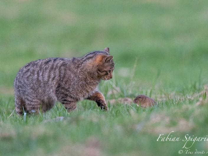 Le campagnol tente de lutter, toutes dents dehors, pour défendre sa peau face au chat forestier. Déboussolé par les coups de patte répétés et bien trop éloigné de sa galerie protectrice, le rongeur ne peut pas lutter face à la puissance et à la vitesse du félin.