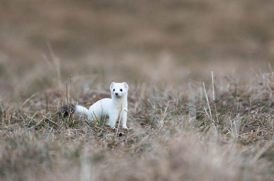 Curieuse et intrépide, l'hermine explore les environs de son terrier à la recherche d'un campagnol égaré qu'elle trouvera sans doute à croquer....