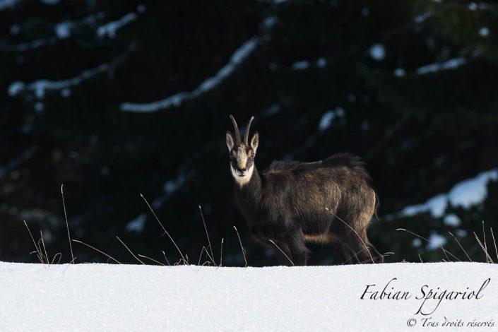 Vêtu de son épais manteau d'hiver, le chamois parcourt sa zone de gagnage enneigée des hauteurs du Val-de-Travers en quête de quelques herbes nourissantes.