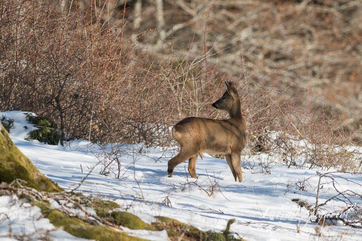 Rencontre avec un magnifique brocard en pelage d'hiver et aux bois de velours dans une haie des hauteurs du Val-de-Travers.