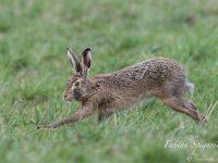 Bondissant dans le pré, le lièvre brun passe à quelques encablures du photographe ébahi.
