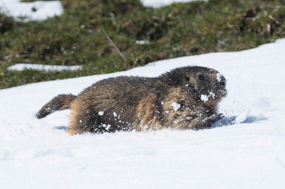 Instant de fraicheur avec les marmottes du Jura