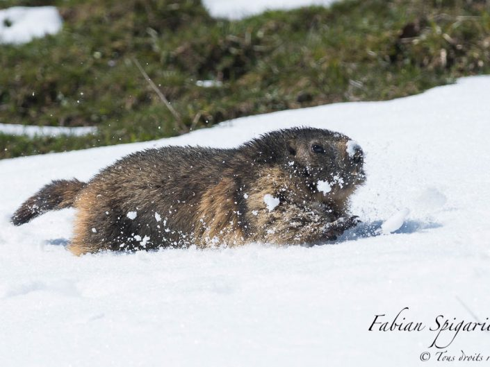 Alertée par les sifflements d'une congénère, cette marmotte des crêtes du Jura s'empresse de rejoindre son terrier en traversant une bande de neige.