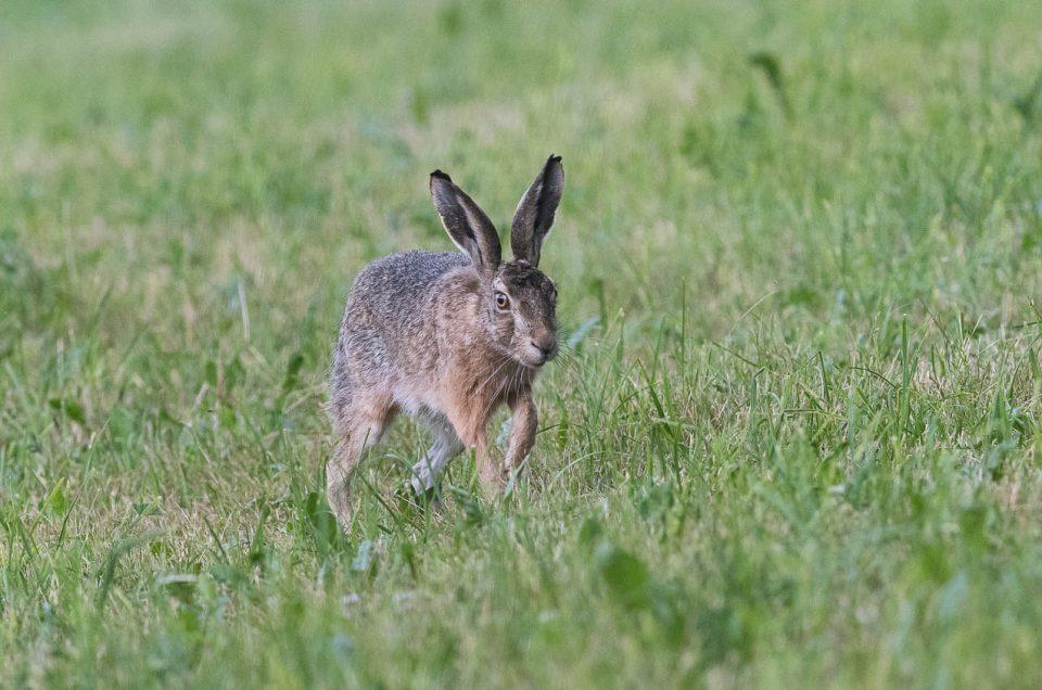 Lièvre en approche - Par petits bonds successifs, le lièvre s'approche de la lisière de la forêt.