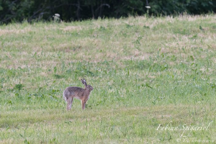 Dromalièvre - Ce camélidé jurassien aux longues oreilles est en réalité un brave lièvre brun qui s'adonne à quelques étirements après une longue sieste au milieu d'un paturage du Val-de-Travers.
