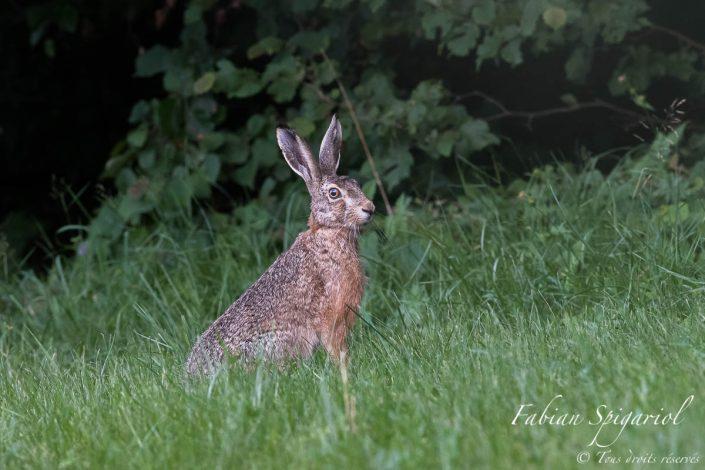 Dernier regard avant la nuit - Après avoir joyeusement gambadé dans son champ préféré, le lièvre nous accordre un dernier regard avant d'aller se remiser sous le couvert forestier.