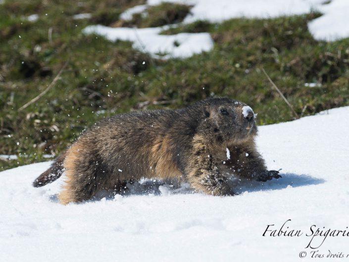 Marmotte des crêtes du Jura qui traverse une bande de neige au pas de courses pour rejoindre son terrier.