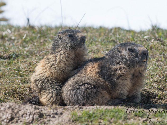 Moment de complicité près du terrier entre une jeune marmotte des crêtes du Jura et sa maman.