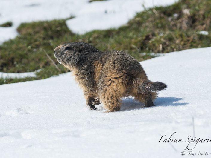 Prudente, cette marmotte des crêtes du Jura traverse une plaque de neige pour rejoindre un champ de délicieux crocus.