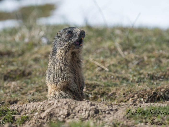Inquiétée par la présence d'une buse au loin, cette jeune marmotte des crêtes du Jura siffle le rappel des troupes.