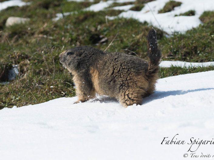 Marmotte des crêtes du Jura s'ébattant dans la neige du printemps.