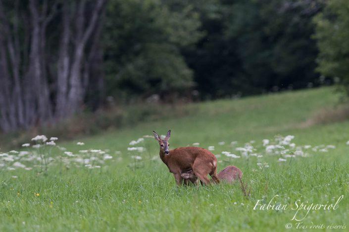 Durant la tétée, la chevrette garde toute sa vigilance et scrute les environs à l'affût du moindre danger.