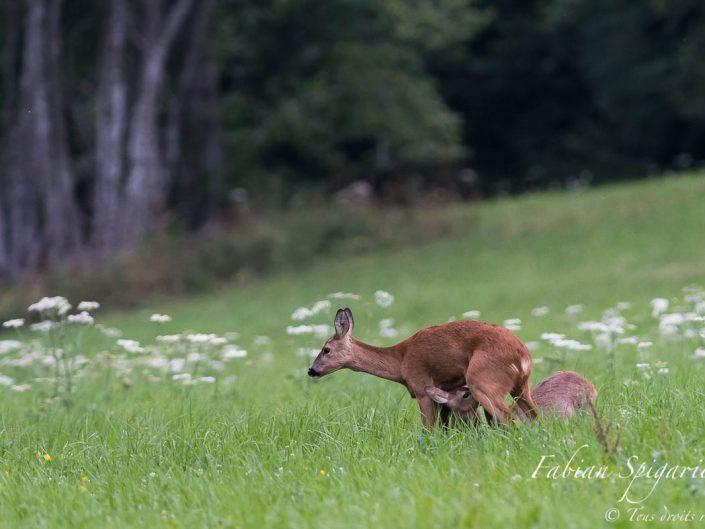 Les deux chevrillards têtent leur mère avec vigueur au coeur du paturage boisé du Val-de-Travers.
