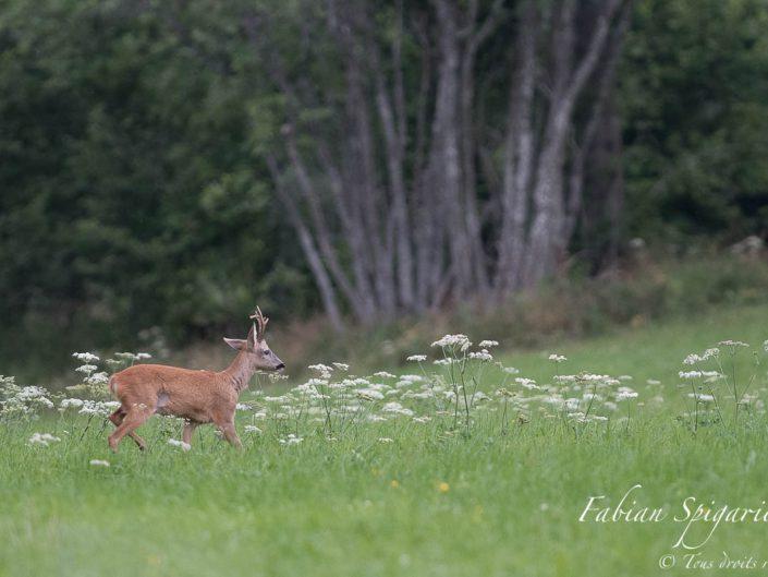 Déboulant de la forêt, le brocard s'approche de la petite famille. Déjà présent au même endroit l'an dernier, il est probablement le père de cette joyeuse fratrie.