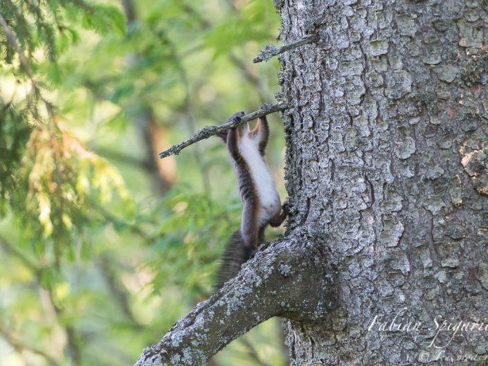 Séance de gynmastique pour l'écureuil roux qui s'adonne à quelques tractions sur un arbre des crêtes du Val-de-Travers.