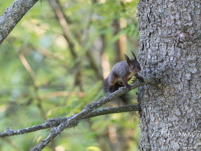 Un petit saut agile et l'acrobate des arbres change gracieusement de branche...