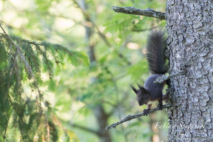 L'escalade arboricole fatigue même le plus intrépide des écureuils...