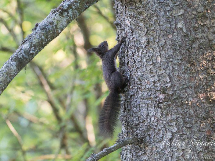 Magnifique vue de profil de ce sympathique écureuil roux croisé sur les crêtes du Val-de-Travers