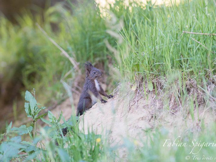 Lorsqu'il est en confiance, l'écureuil roux n'hésite pas à abandonner la cime des arbres pour explorer le sol... En cas de danger, il regagnera le monde vertical en une fraction de seconde...
