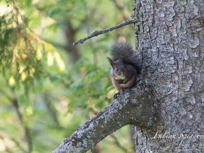 Petit brin de toilette pour l'écureuil roux.