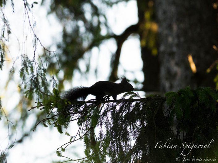 Ecureuil roux s'adonnant à des acrobaties sur un sapin du Val-de-Travers au soleil couchant.