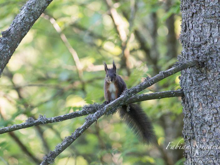Perché sur une branche de sapin des crêtes du Val-de-Travers, le petit écureuil roux surveille attentivement son territoire