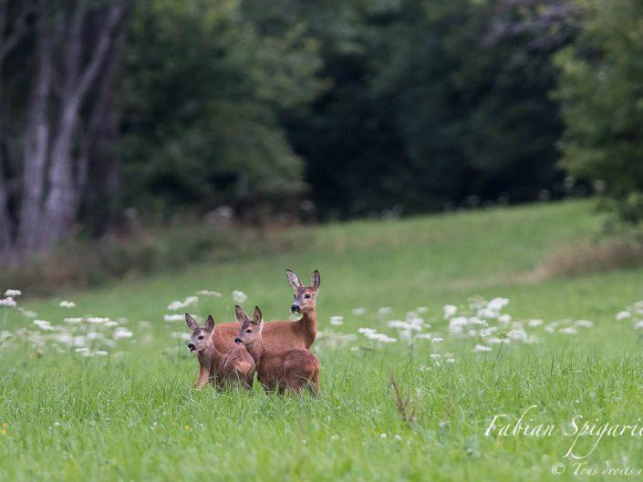 Photo de famille - La chevrette et ses deux jeunes scrutent le bois: le brocard n'est pas loin...