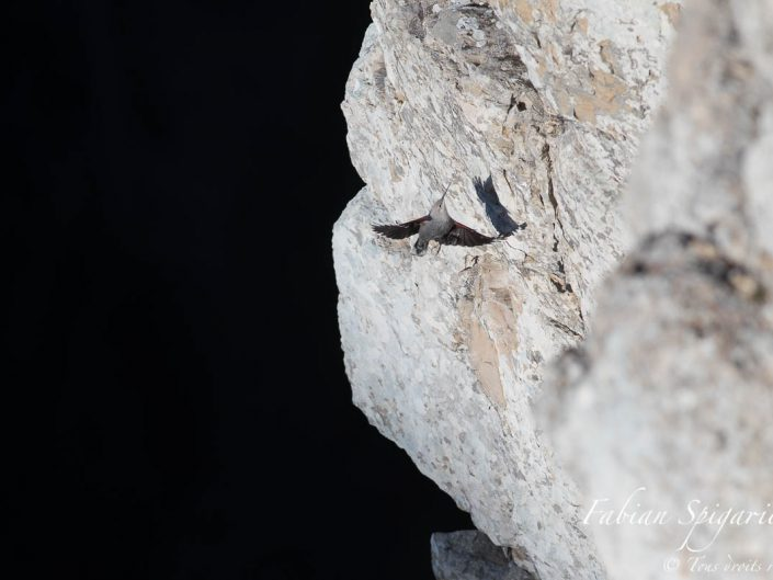 Le tichodrome échelette est volontier surnommé l'oiseau papillon pour ses belles couleurs. Son grâce et son élégance en vol lui donne parfois l'air d'un élégant lépidoptère.