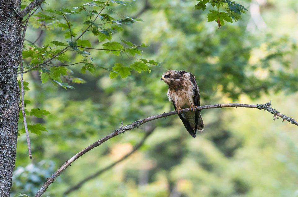 Perchée au coeur de la forêt, cette jeune bondrée apivore surveille attentivement les environs.