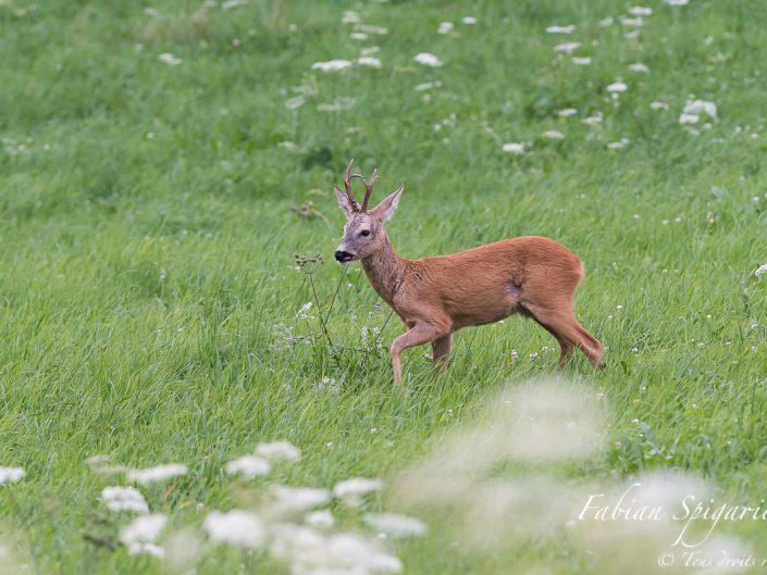 C'est à pas de loup que le chevreuil traverse prudemment un pâturage boisé des crêtes du Val-de-Travers à la recherche de sa bien aimée.