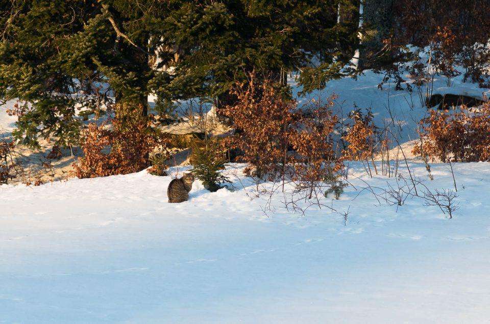 Le bain de soleil du chat forestier