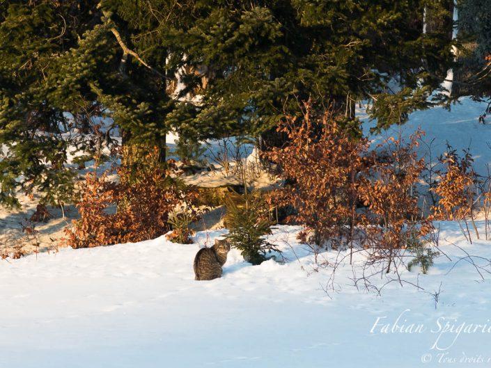 Posé au coin du bois, le chat était posé là, fier comme un roi. Allongé dans la neige de janvier, il ne semblait pas sentir le froid. Son pelage rayé, sa crête foncée et ses yeux cendrés m'ont fait douter: Serait-ce lui, le forestier, le sauvage si difficile à observer? Pour en avoir le coeur net, il aurait fallu s'approcher pour mieux regarder. Réduire l'écart qui nous séparait pour mieux le détailler, le scruter. Mais comment traverser sans se faire voir un champ immaculé, Alors que ses deux yeux clairs m'avaient déjà localisé et fixé? J'ai donc préféré m'asseoir au bord du chemin pour profiter de ce moment félin, Et le chat, lui, n'a pas bronché jusqu'à ce que le soleil soit loin. Forestier ou fermier, le mystère ne sera jamais élucidé, Mais par moins quinze degrés, lequel des deux aurait résisté à la douceur d'un feu de cheminé?