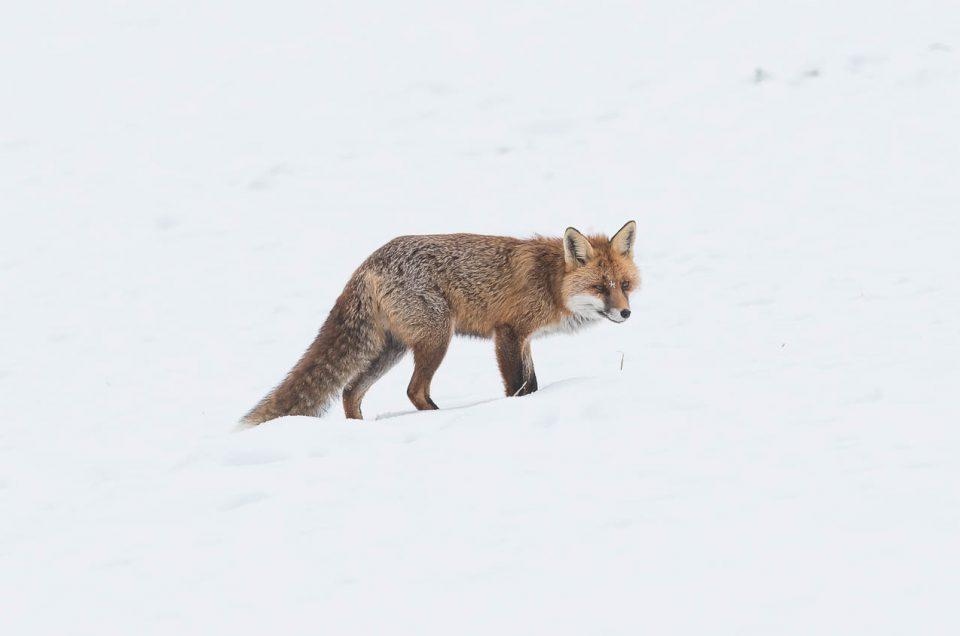 Lorsque l'hiver est installé, le renard roux compte sur son ouïe affutée pour localiser les campagnols enfouis sous le manteau neigeux.