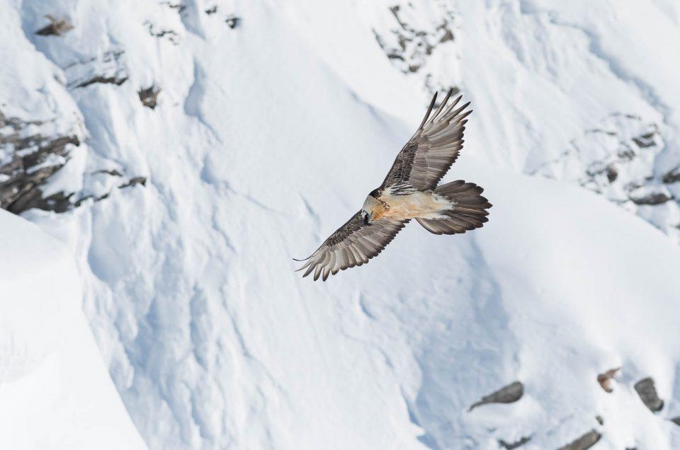 Le gypaète barbu survole les alpes enneigées, une scène de rêve