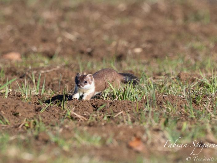 Bondissant sur son terrain de chasse préféré, l'hermine inspecte méticuleusement les galeries de campagnol afin de débusquer son repas.