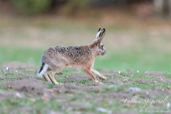 Lièvre brun gambadant dans un champ des crêtes du Val-de-Travers recouvert de crocus.