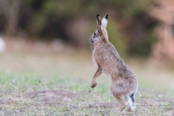 Un craquement de branche dans la forêt intrigue le lièvre qui se dresse sur les pattes arrières pour mieux observer les environs.