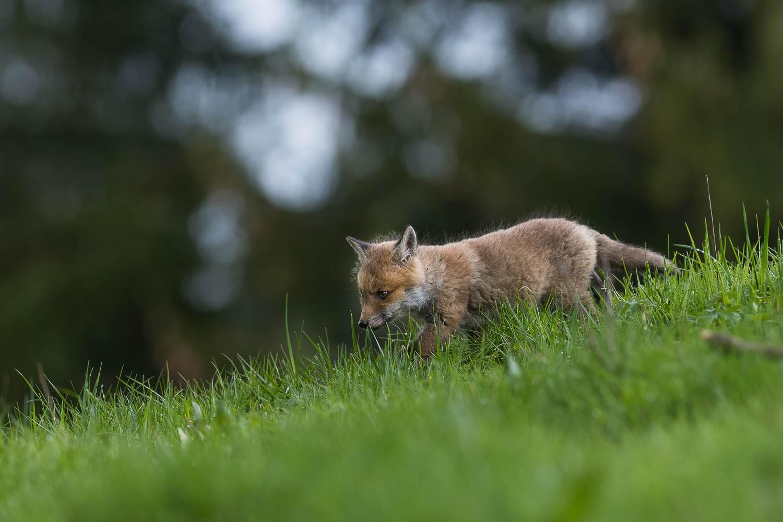 Le renardeau explore les environs du terrier familial sur les crêtes du Val-de-Travers.
