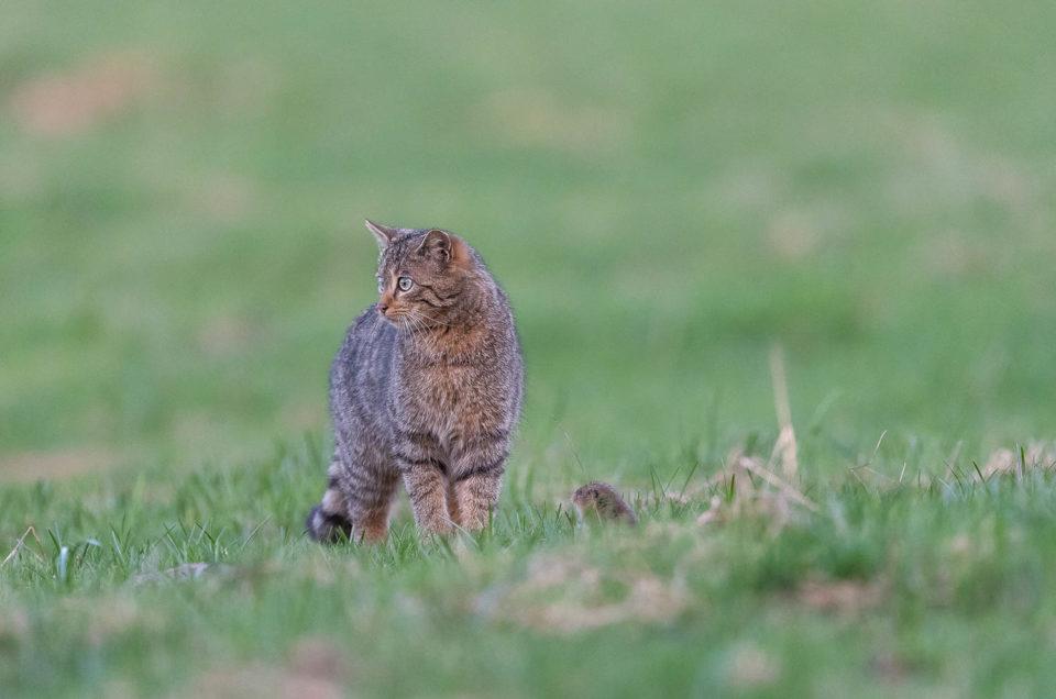 L'incroyable partie de chasse du chat forestier