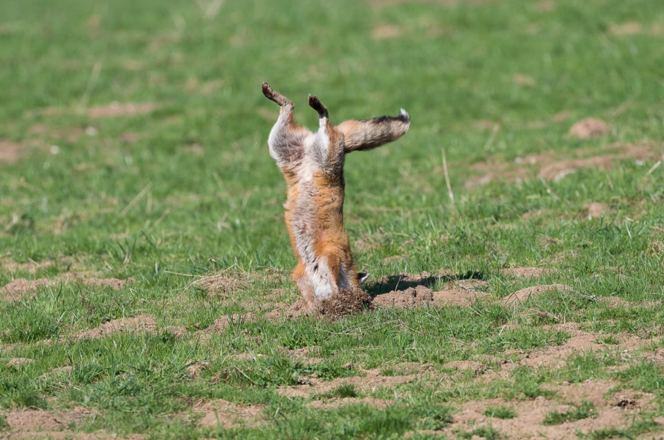 Lorsque le renard roux mulotte, il plonge litérallement la tête la première dans la galerie de campagnol pour se saisir de sa proie...