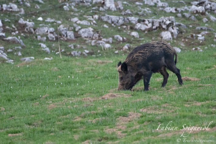 Au crépuscule, le sanglier quitte discrètement le calme de la forêt pour se nourrir dans un pâturage boisé du Val-de-Travers.