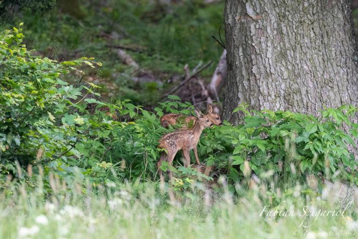 Aussitôt que la chevrette tourne le dos, les faons se mettent à jouer en lisière de forêt.
