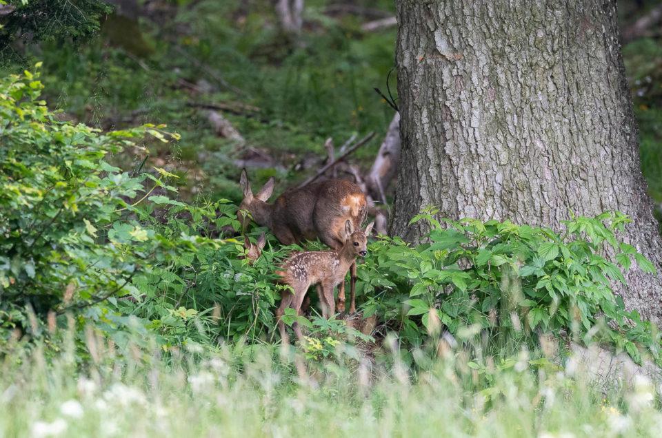 Encore habillés de leur robe tachetée, les faons de chevreuil restent bien cachés en lisière de forêt avec leur maman.