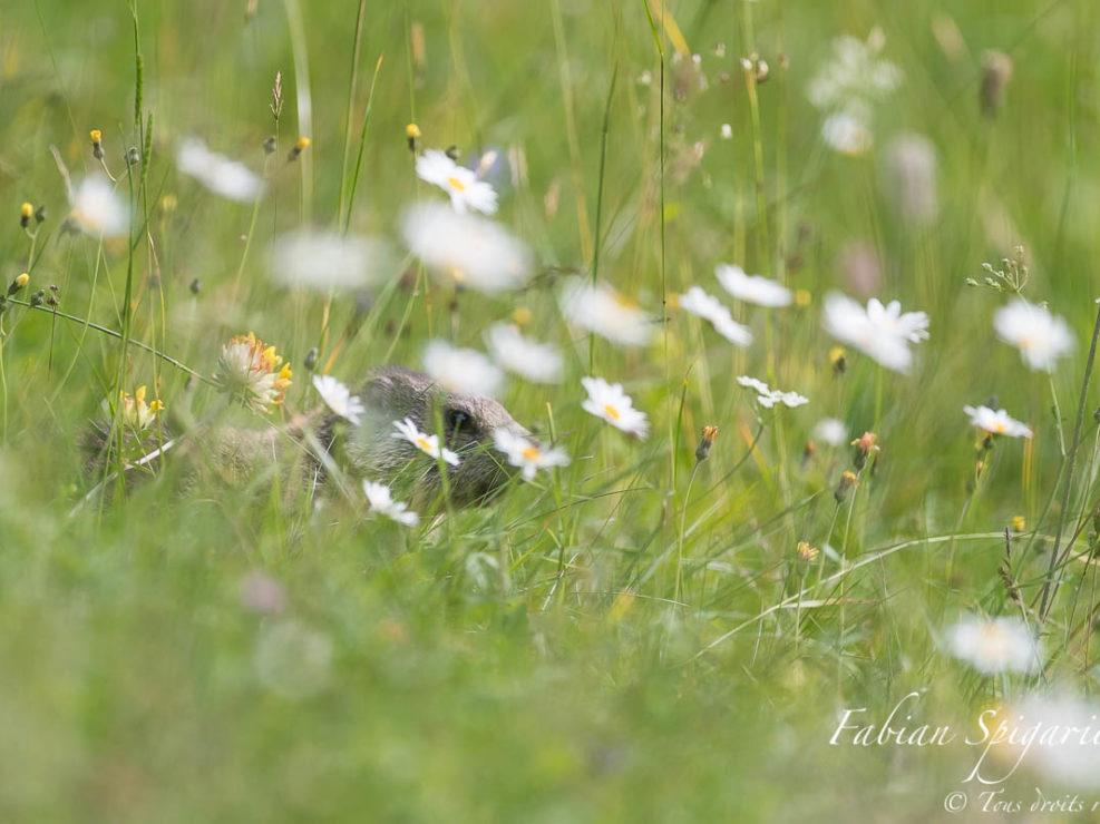 Tapie dans un champ recouvert de fleurs, la jeune marmotte explore les environs de son terrier sur les crêtes du Jura neuchâtelois.