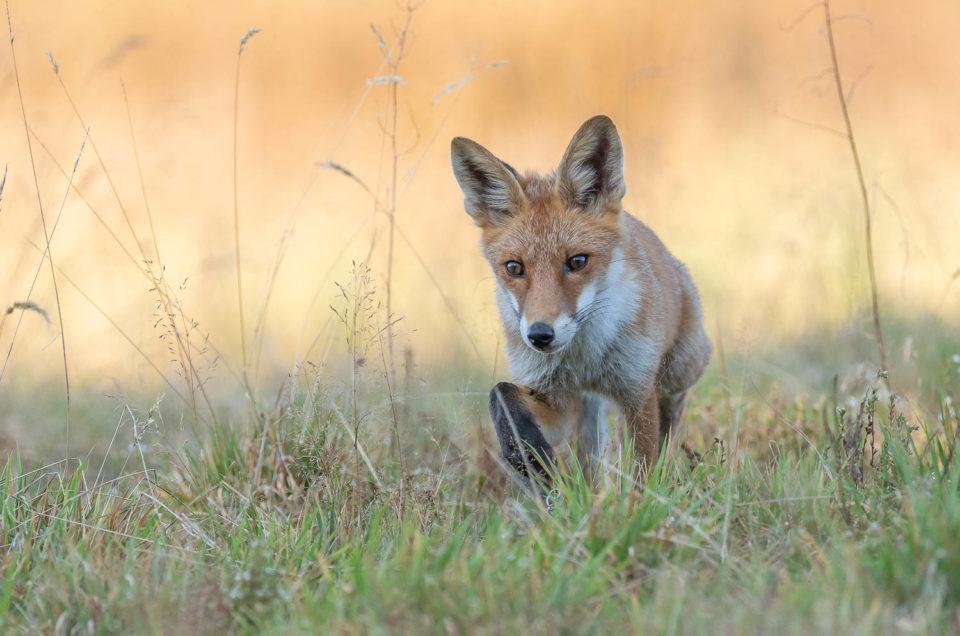 Jeune renard roux observé au crépuscule dans la toundra neuchâteloise.
