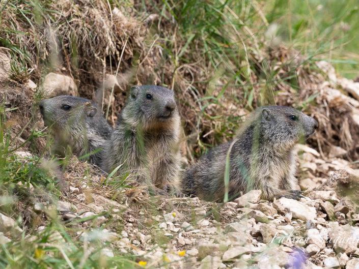 Trois jeunes marmottes sont postés à l'entrée du terrier familial et observent les environs quelque part sur les crêtes du Jura neuchâtelois.
