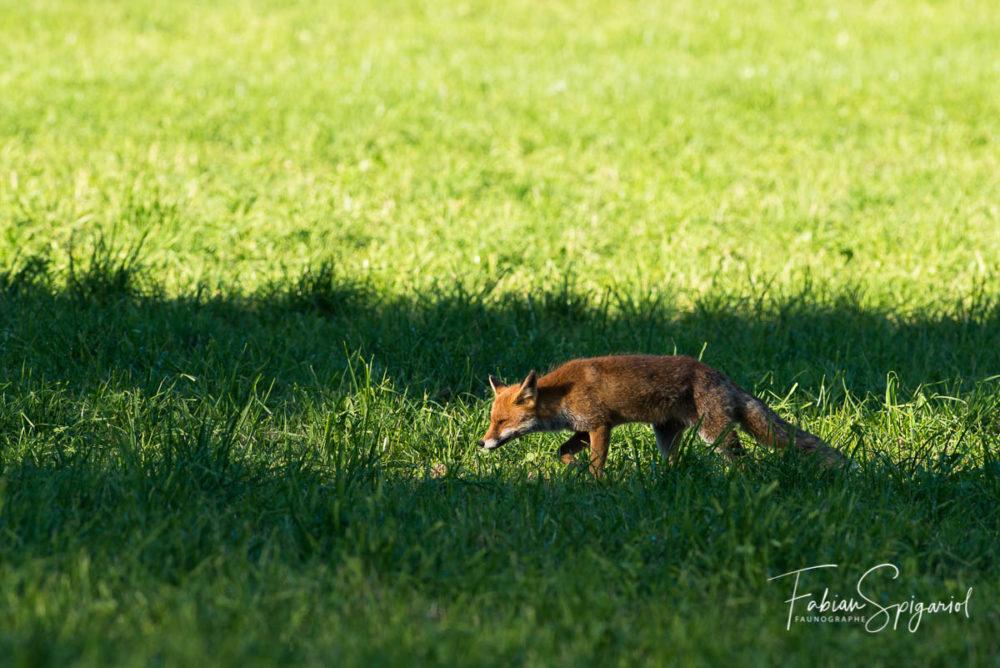 Entre ombre et lumière, le renard scrute méticuleusement son terrain de chasse.